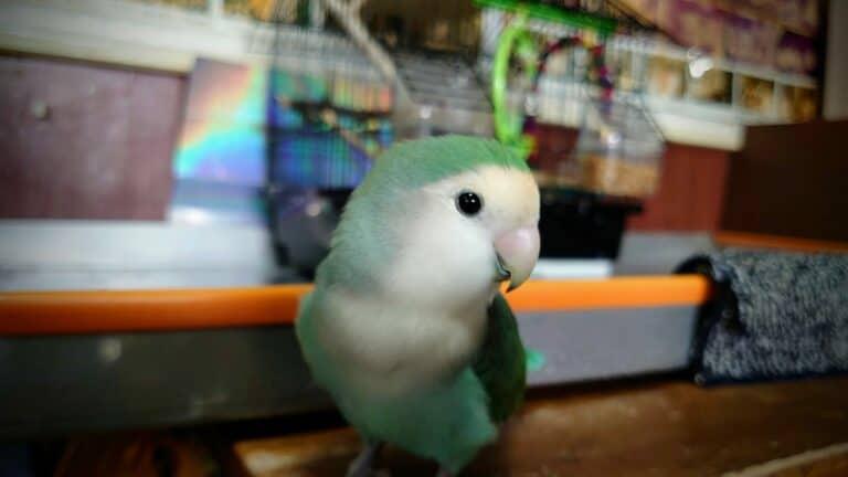 沒上腳鍊,愛站上客人手上、肩上溜自己的鳥 - 日本味